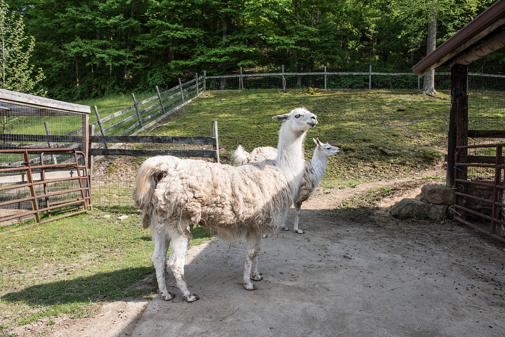 18 x 24 Photograph reprinted on fine art canvas  of Llamas at the petting zoo of the Heritage Farm Museum and Village in Harveytown West Virginia just south of downtown Huntington r55 42131 by Highsmith, Carol M.