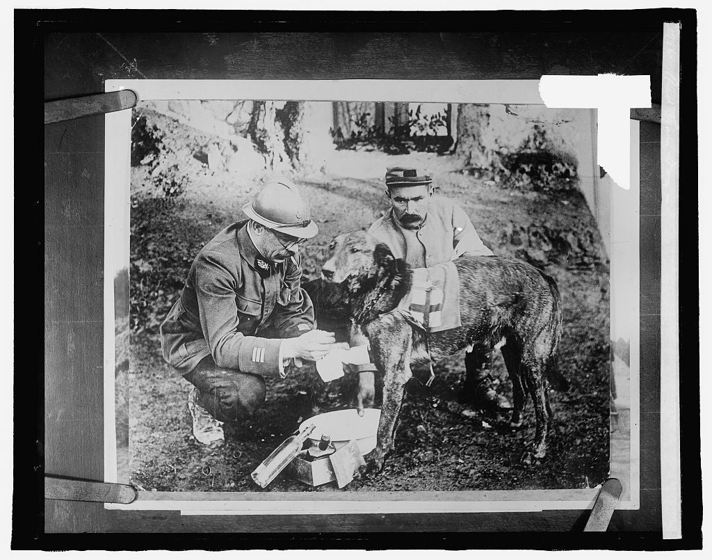 8 x 10 Reprinted Old Photo of Red Cross dog 1917 National Photo Co  80a