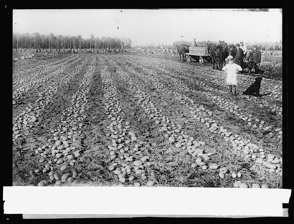 8 x 10 Reprinted Old Photo of Potato field 1917 National Photo Co  22a