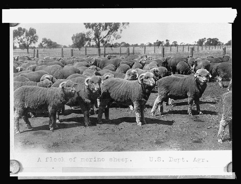 8 x 10 Reprinted Old Photo of Marino sheep 1917 National Photo Co  23a