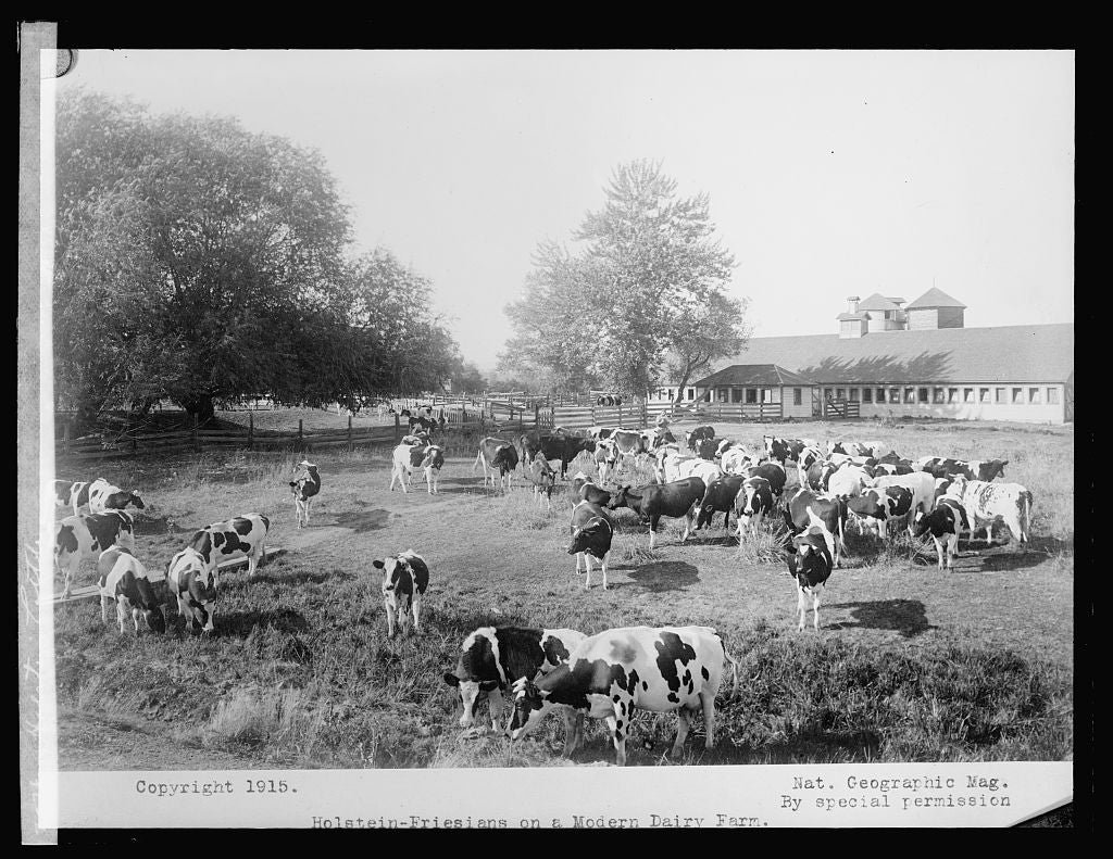 8 x 10 Reprinted Old Photo of Holstein cattle 1917 National Photo Co  28a