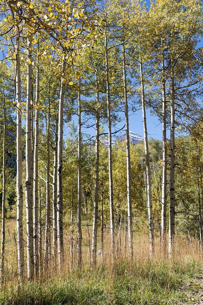 18 x 24 Photograph reprinted on fine art canvas  of Autumn-clad aspens outside the town of the same name Aspen Colorado r28 42267 by Highsmith, Carol M.,