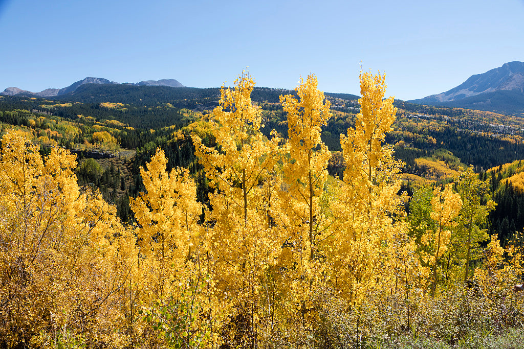 18 x 24 Photograph reprinted on fine art canvas  of Autumnal splendor amid the aspens above the highway between Silverton and Durango in San Juan County Colorado r70 42273 by Highsmith, Carol M.,