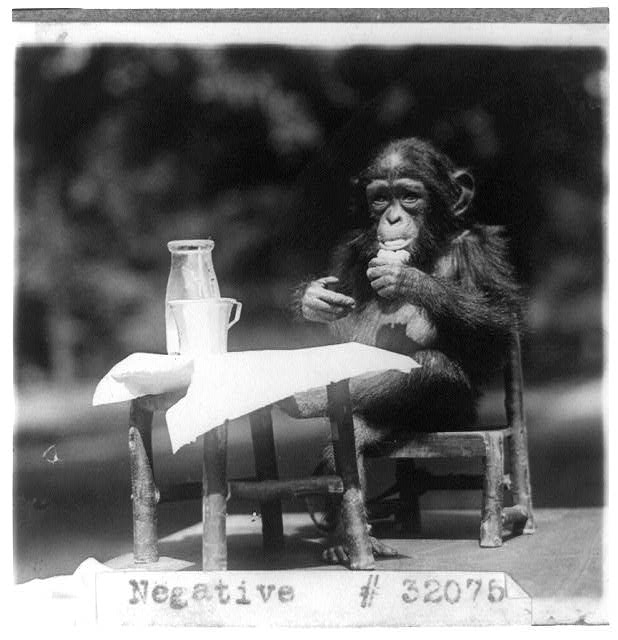 16 x 20 Reprinted Old Photo ofChimpanzee seated at table with bottle and glass at the National Zoo, Washington, D.C. 1926 National Photo Co  61a