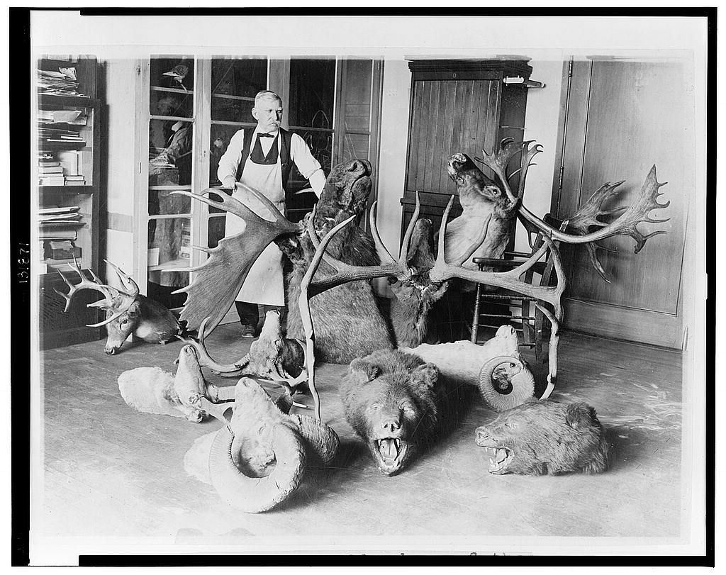 8 x 10 Reprinted Old Photo of George Marshall, dean of the taxidermists at the National Museum, photographed with some of the historic White House trophies which he is at p 1923 National Photo Co  88a