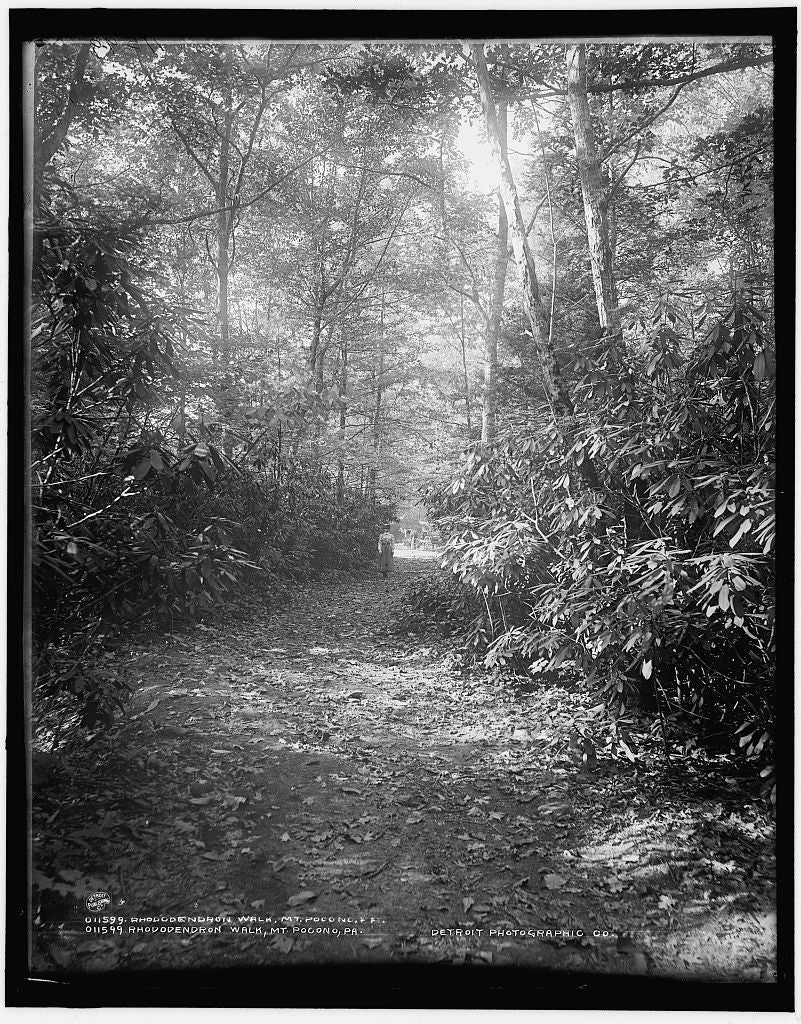 16 x 20 Gallery Wrapped Frame Art Canvas Print of Rhododendron walk Mt Pocono Pa  1902 Detriot Publishing co.  92a