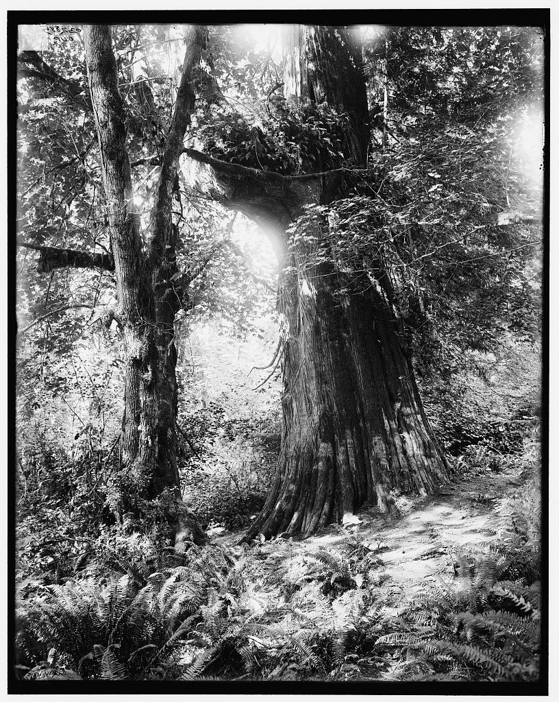 16 x 20 Gallery Wrapped Frame Art Canvas Print of Big tree in Stanley Park Vancouver Canada 1905 Detriot Publishing co.  15a