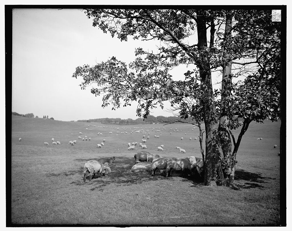 16 x 20 Gallery Wrapped Frame Art Canvas Print of Sheep in Franklin Park Boston Mass  1906 Detriot Publishing co.  32a