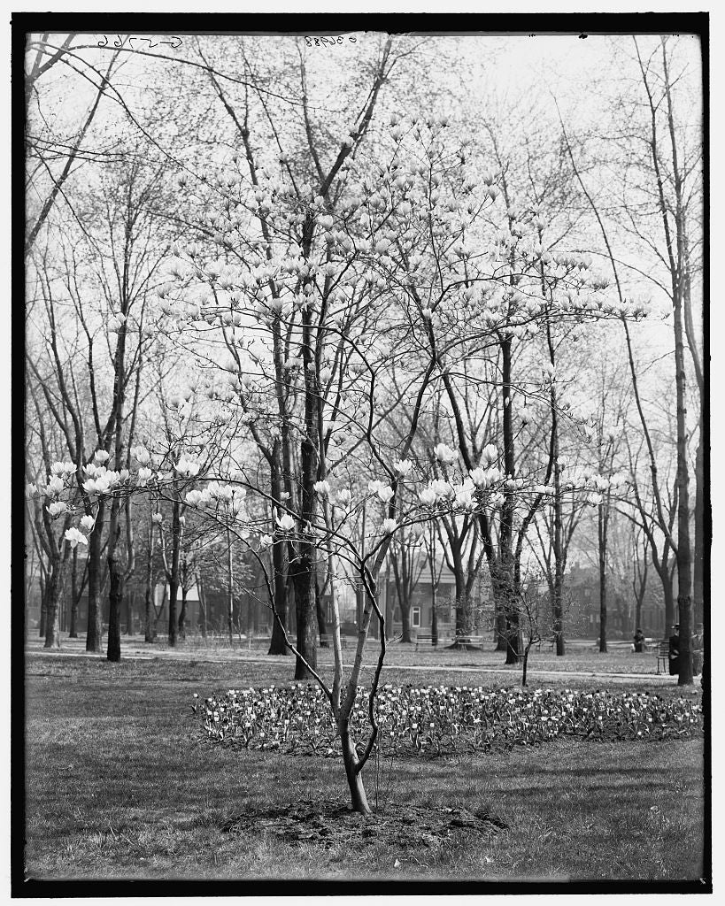 16 x 20 Gallery Wrapped Frame Art Canvas Print of Tulip tree in Cass Park Detroit Mich  1905 Detriot Publishing co.  85a