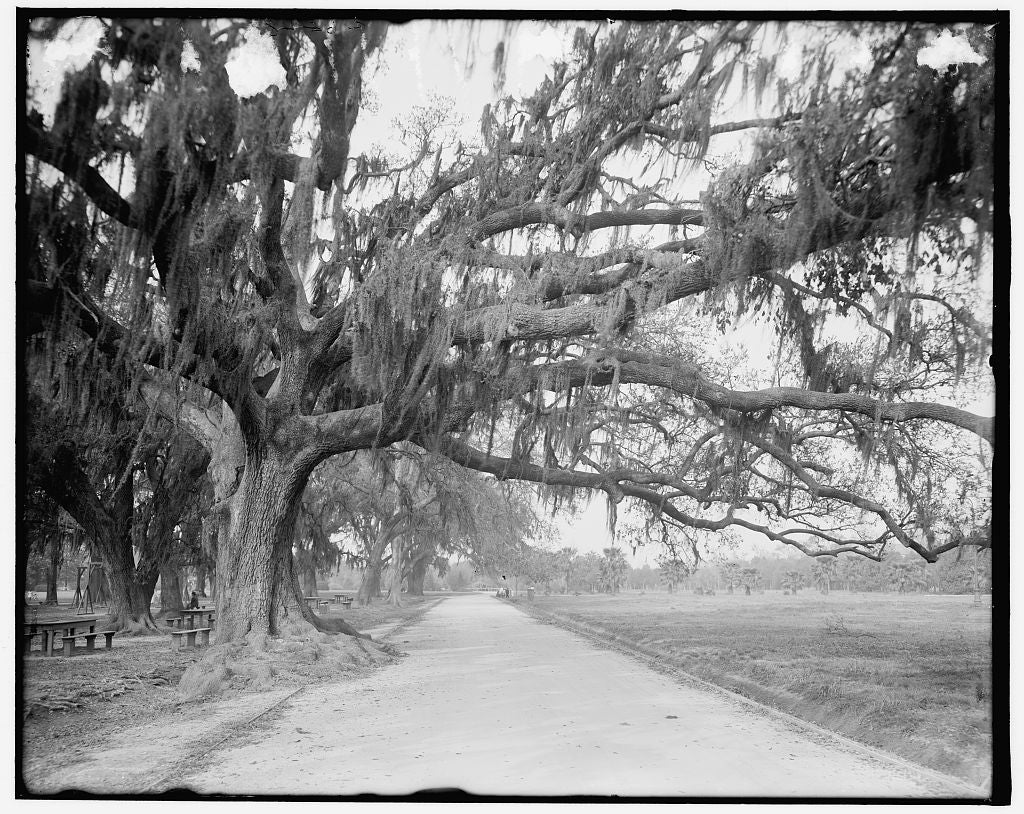 16 x 20 Gallery Wrapped Frame Art Canvas Print of Shell road and live oaks Audubon Park New Orleans La  1910 Detriot Publishing co.  75a
