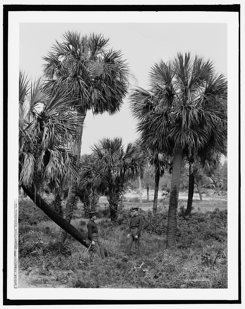 16 x 20 Gallery Wrapped Frame Art Canvas Print of Tybee Island palmettoes Savannah Ga  1907 Detriot Publishing co.  72a