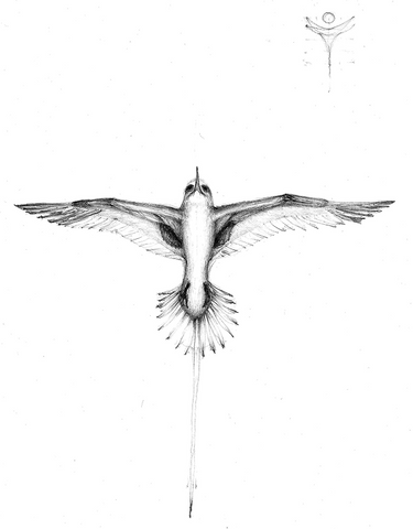 Original drawing of the Bermuda Longtail by Greg Frucci.  June 2011