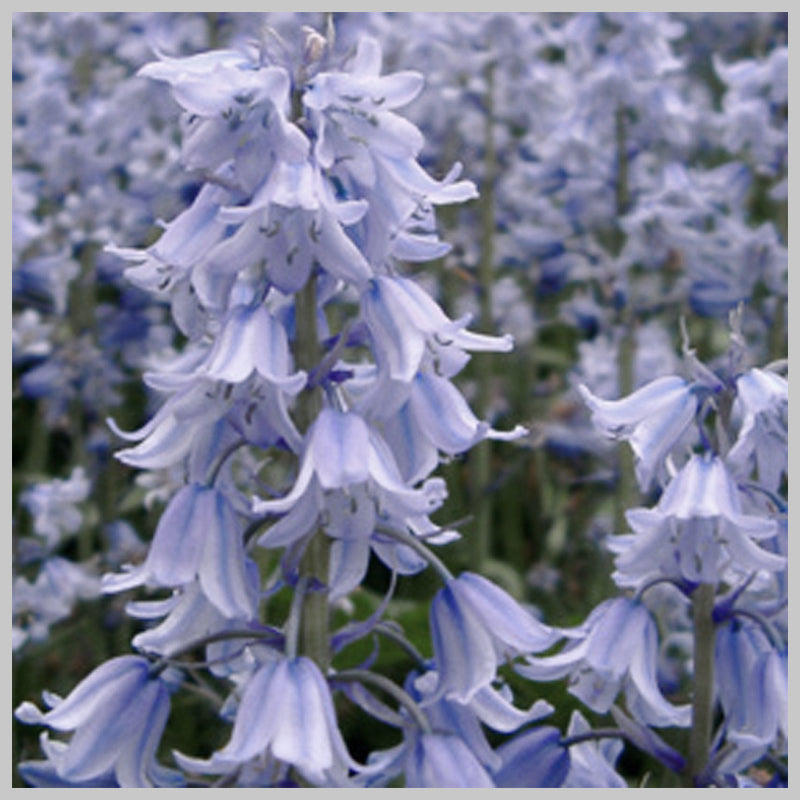 First Bluebell of Spring Reed Diffuser