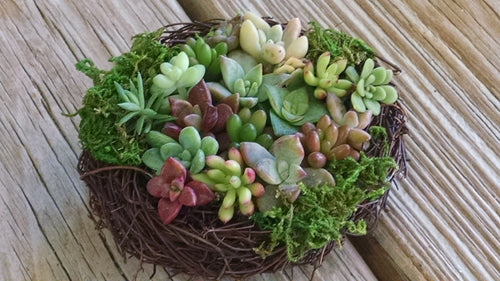 Succulent Bird Nest 4