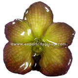 Vanda Orchid Jewelry Pendant (Green Purple)