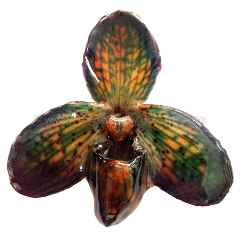 Paphiopedilum Concolor Orchid Jewelry Pendant (Green Turquoise)