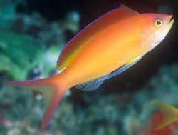Ignitus Anthias