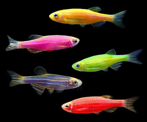 Assorted GloFish® Danio Reg