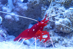 Blood Red Fire Cleaner Shrimp Lysmata debelius
