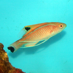 Blue-margin Fairy Wrasse (Male) - Cirrhilabrus pyle