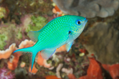 Blue/Green Reef Chromis - Chromis viridis