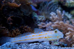 Diamond Goby - Valenciennea puellaris