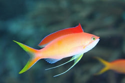Dispar Anthias-Pseudoanthias dispar