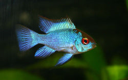 Electric Blue Ram-Mikrogeophagus ramirezi