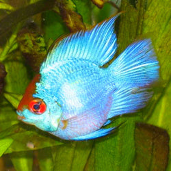 Electric Blue Balloon Ram-Mikrogeophagus ramirezi