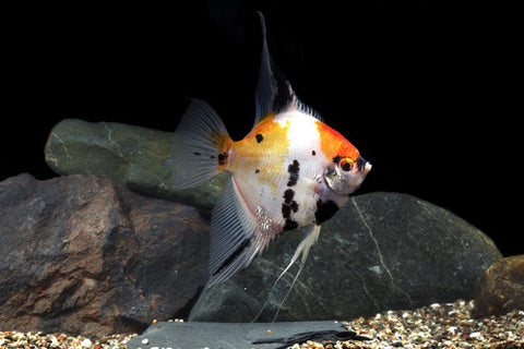 Koi Angel-Pterophyllum scalare
