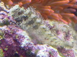 Lawnmower (Algae) Blenny-Salarias fasciatus