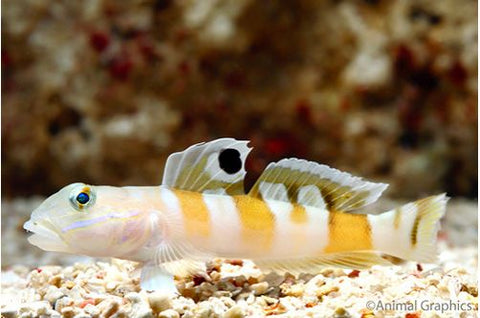 Tiger Goby