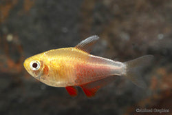 Orange von tetra