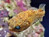 Porcupine Puffer - Diodon holocanthus