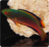 Scott Fairy Wrasse