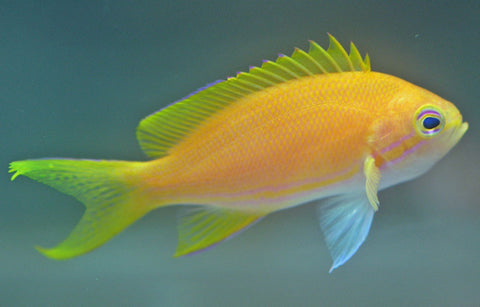 Square Anthias Female - Pseudanthias pleurotaenia