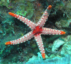 Fromia Sea Starfish