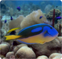 Hippo (yellow belly) Tang