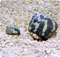 Zebra Turbo Snail (Turbo sp.)