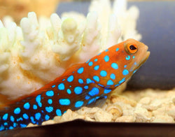 Blue spot Jawfish goby