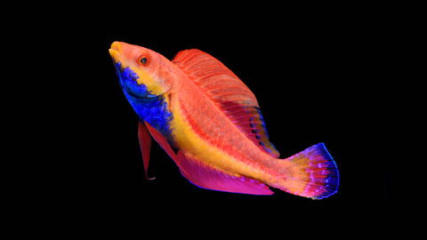 Blue Throated Fairy Wrasse - Cirrhilabrus cyanogularis