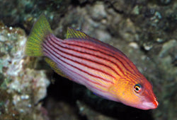 Eight Lined Wrasse - Pseudocheilinus octotaenia