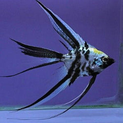 Veil Angelfish-Pterophyllum scalare