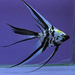 Assorted Veil Angelfish-Pterophyllum scalare