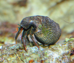 Blue/Grey/Red Leg Hermit Crab