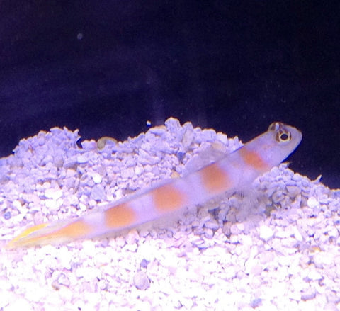 Pink(Orange) Bar Goby (Amblyeleotris aurora)