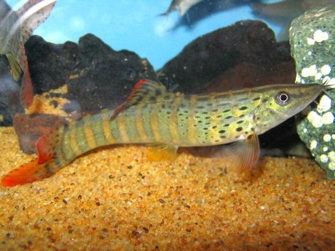 Syncrossus berdmorei loach