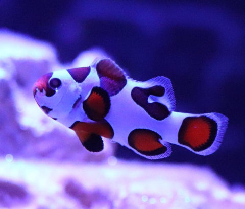 Orange Storm  clownfish
