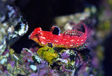 Ruby Red Dragonet (Mandarin) - Synchiropus sycorax