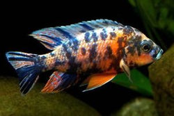 cichlid Orange Blotch